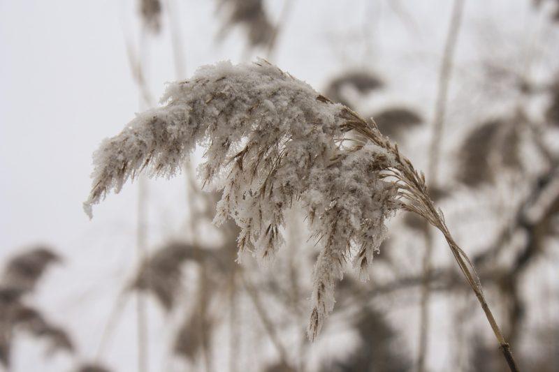wheat-633247_1920